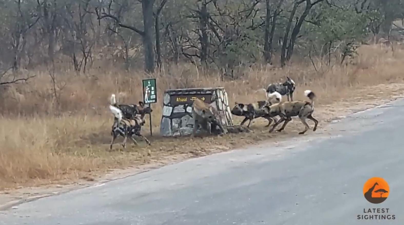 Lone Hyena vs  Wild Dogs