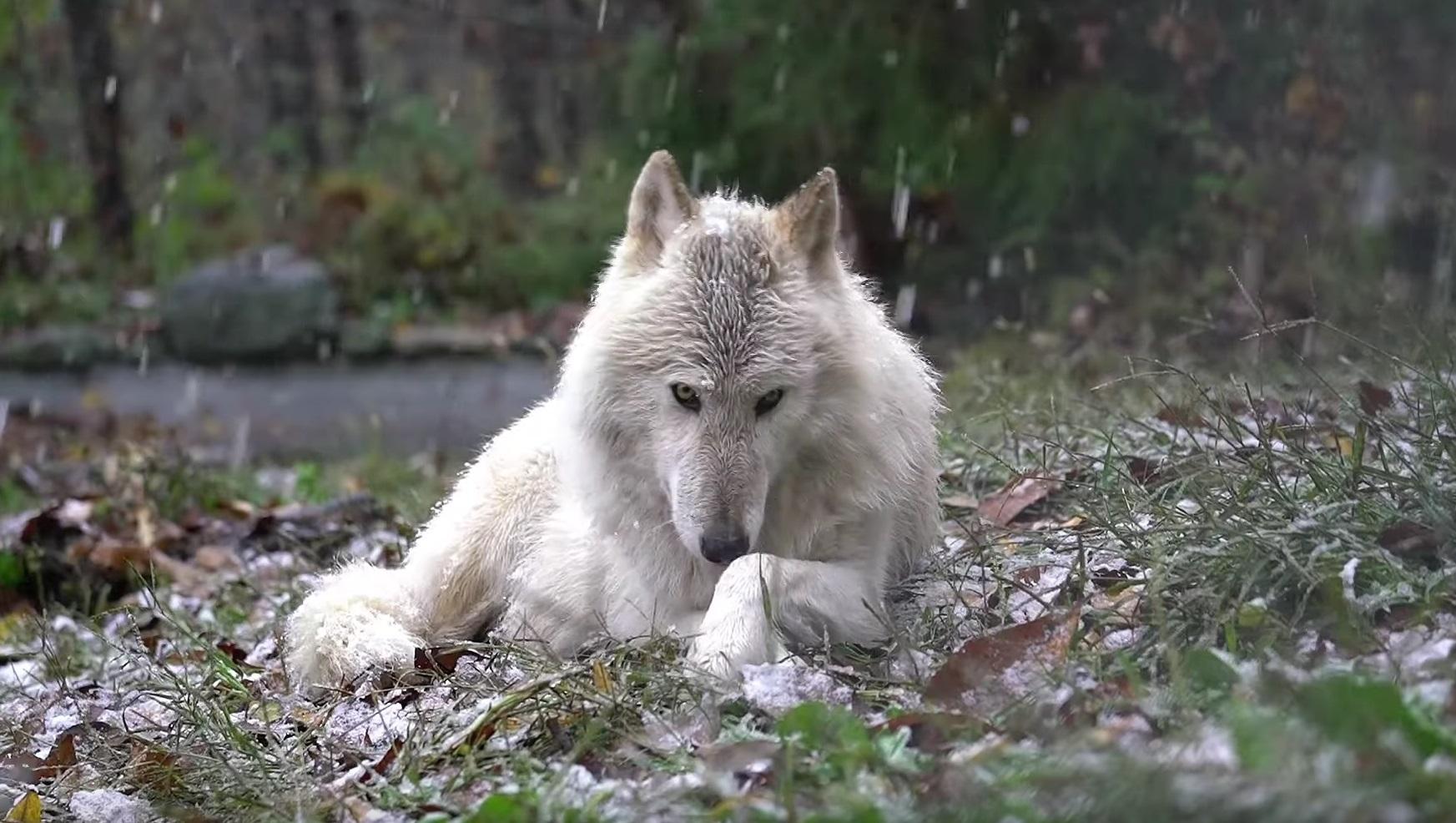 Majestic Wolf Enjoys Snow