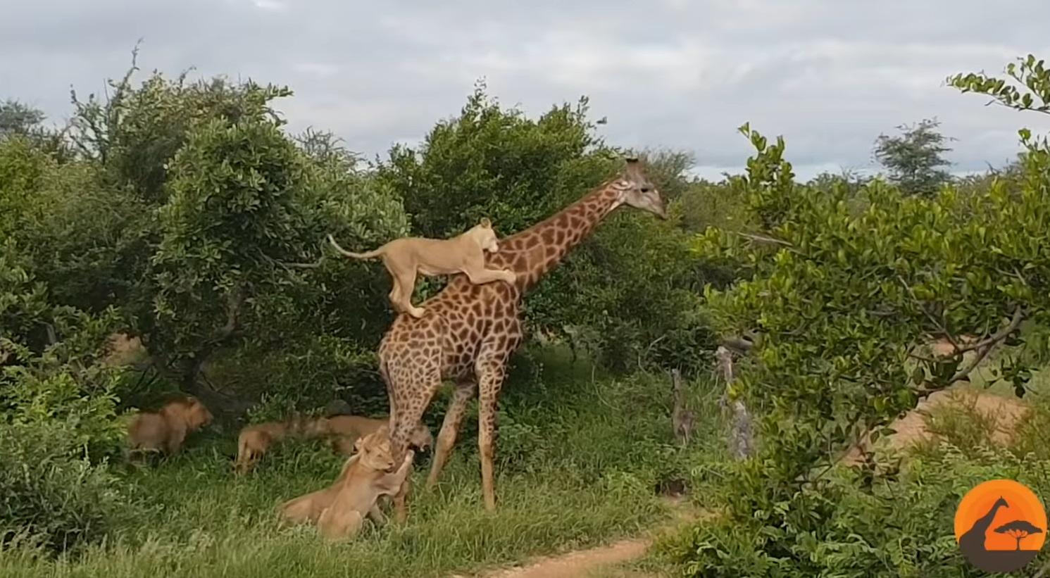 Giraffe Gives Lions A Ride