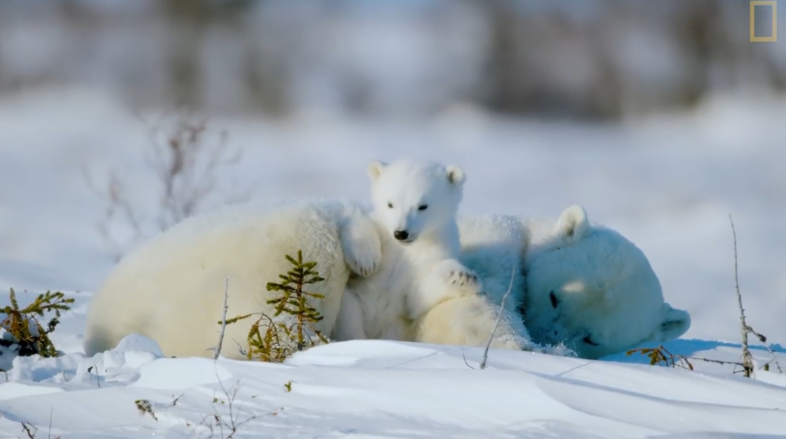 The Life Of A Baby Polar Bear