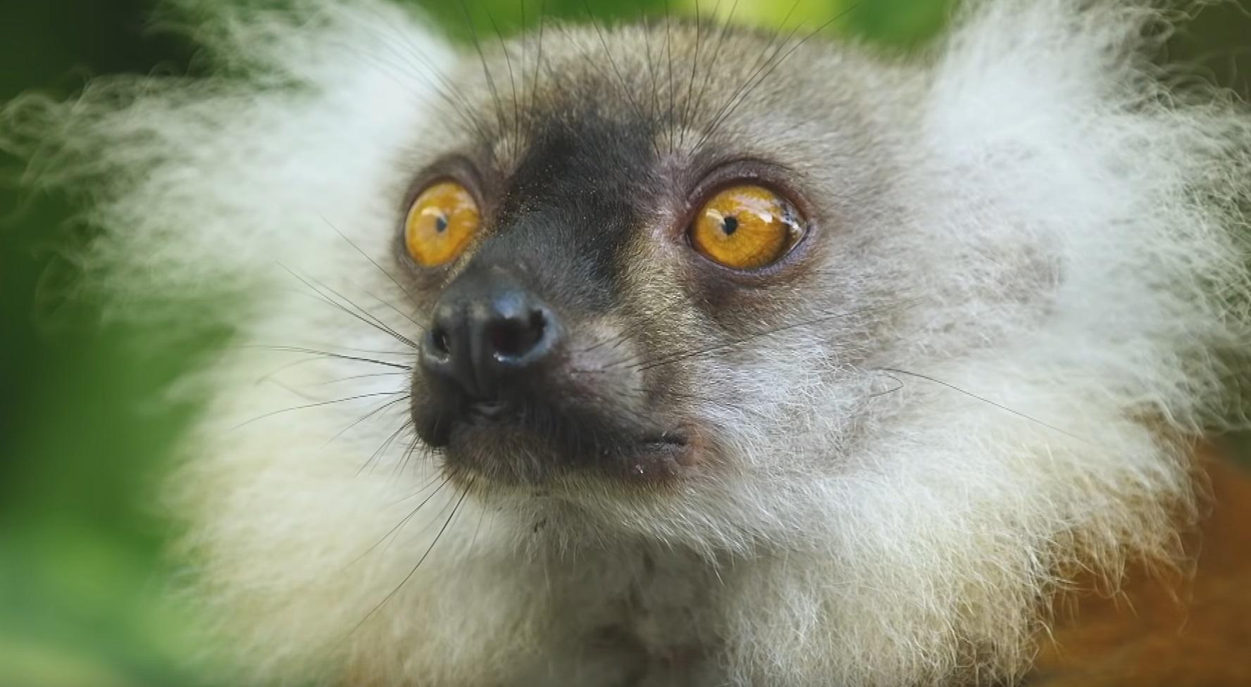 Lemurs Get High