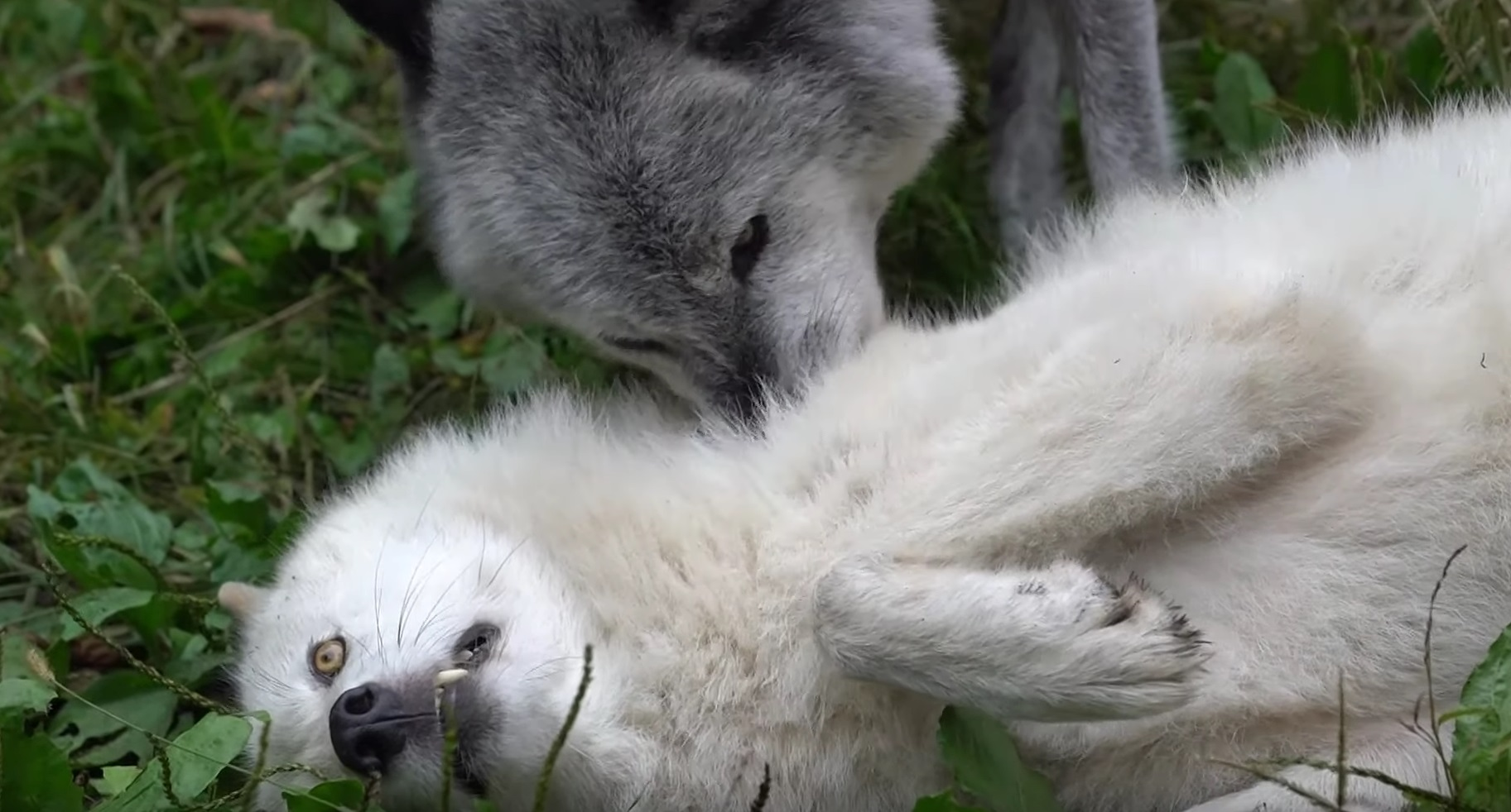 Wolves Show Affection For Each Other