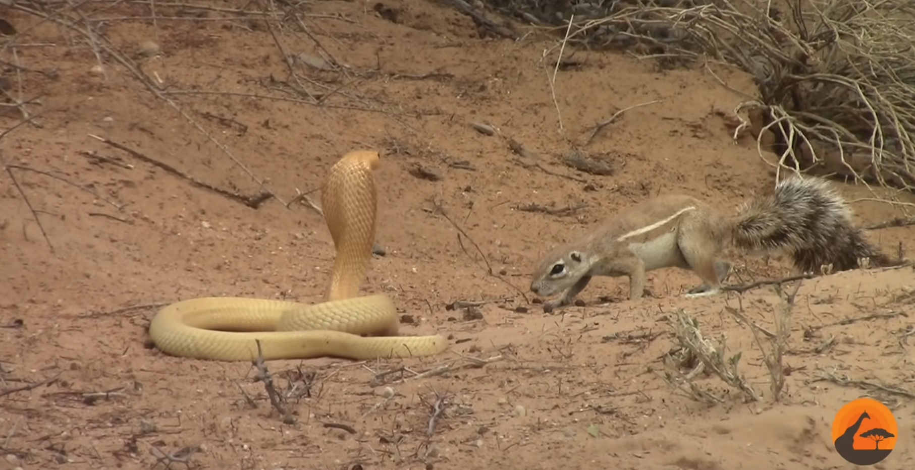 Squirrel Faces Cobra To Protect Her Babies