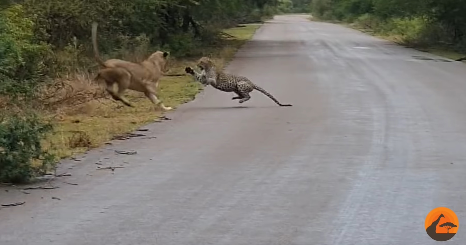 Lioness Vs Leopard On The Road