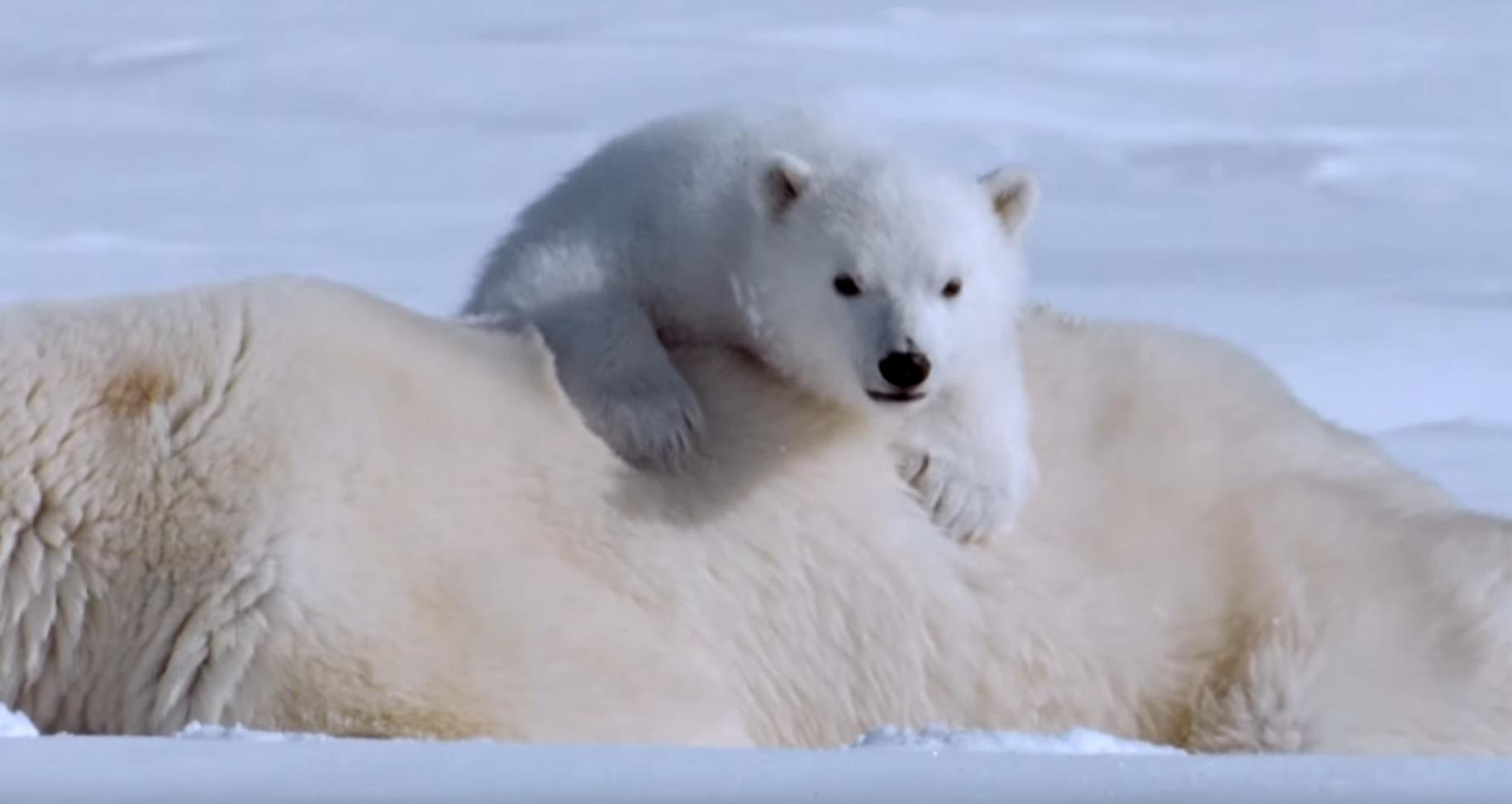 Beautiful Polar Bears Compilation
