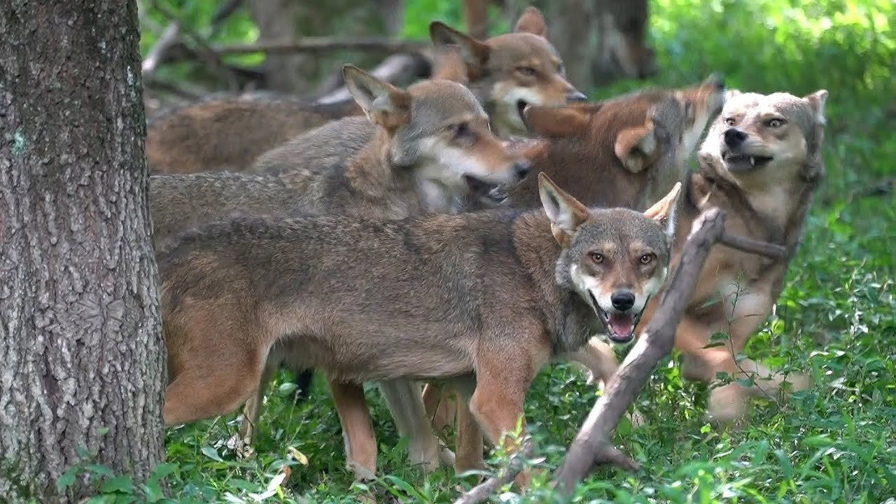 Rare Footage Of Red Wolves
