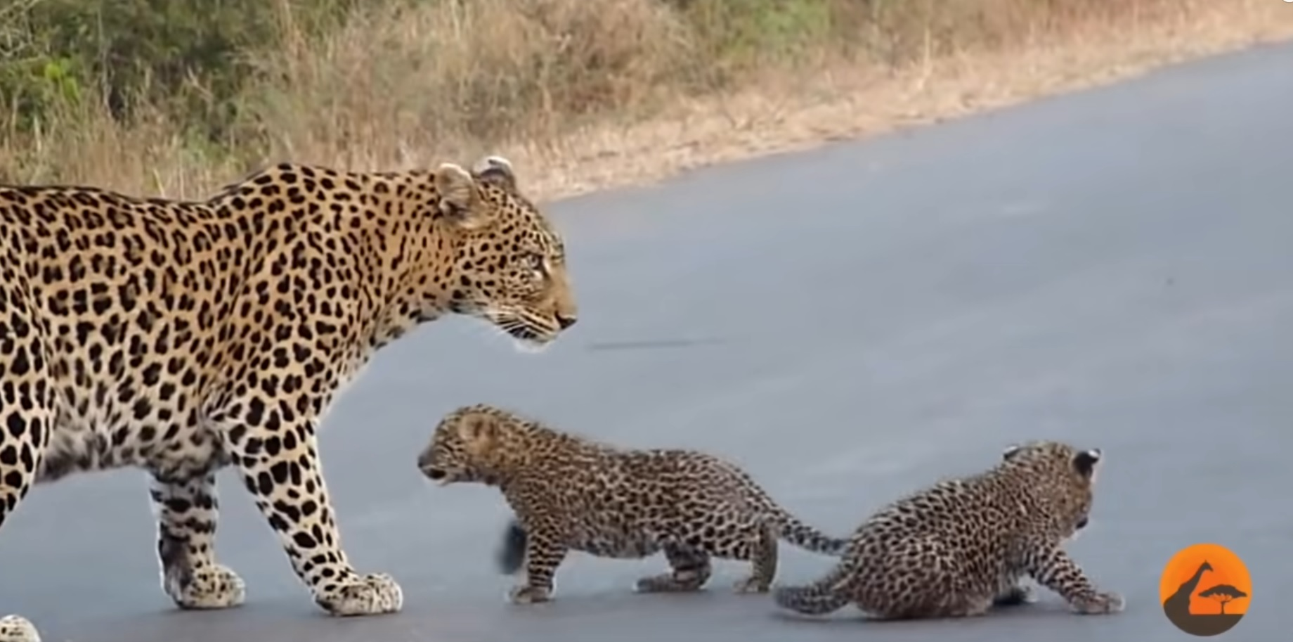 Leopard Teaching Cubs To Cross Road