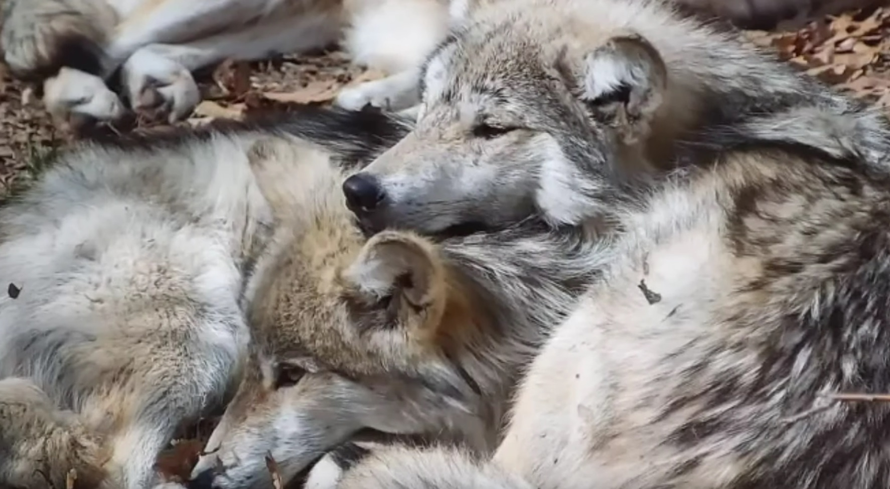 Wolves Cuddling