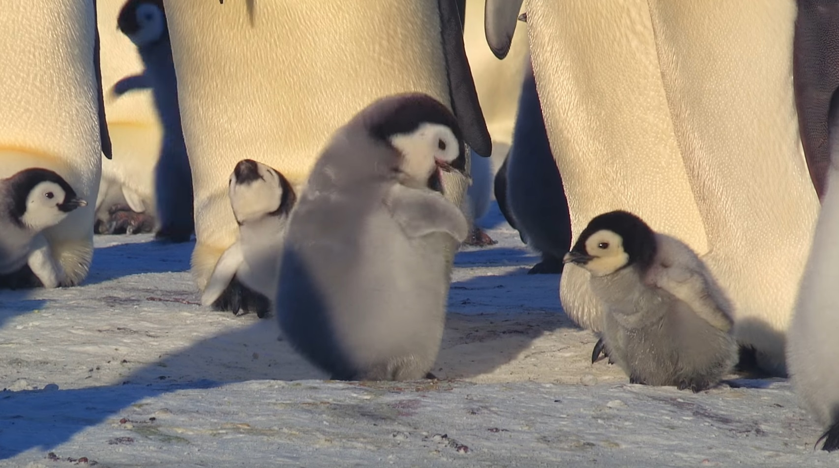 Cute Penguin Chick Tries To Make Friends