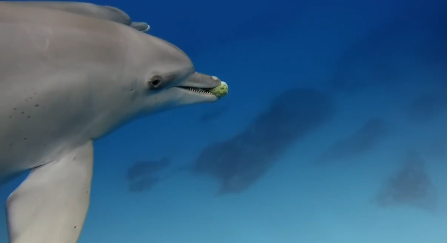Dolphins Play Catch With A Pufferfish