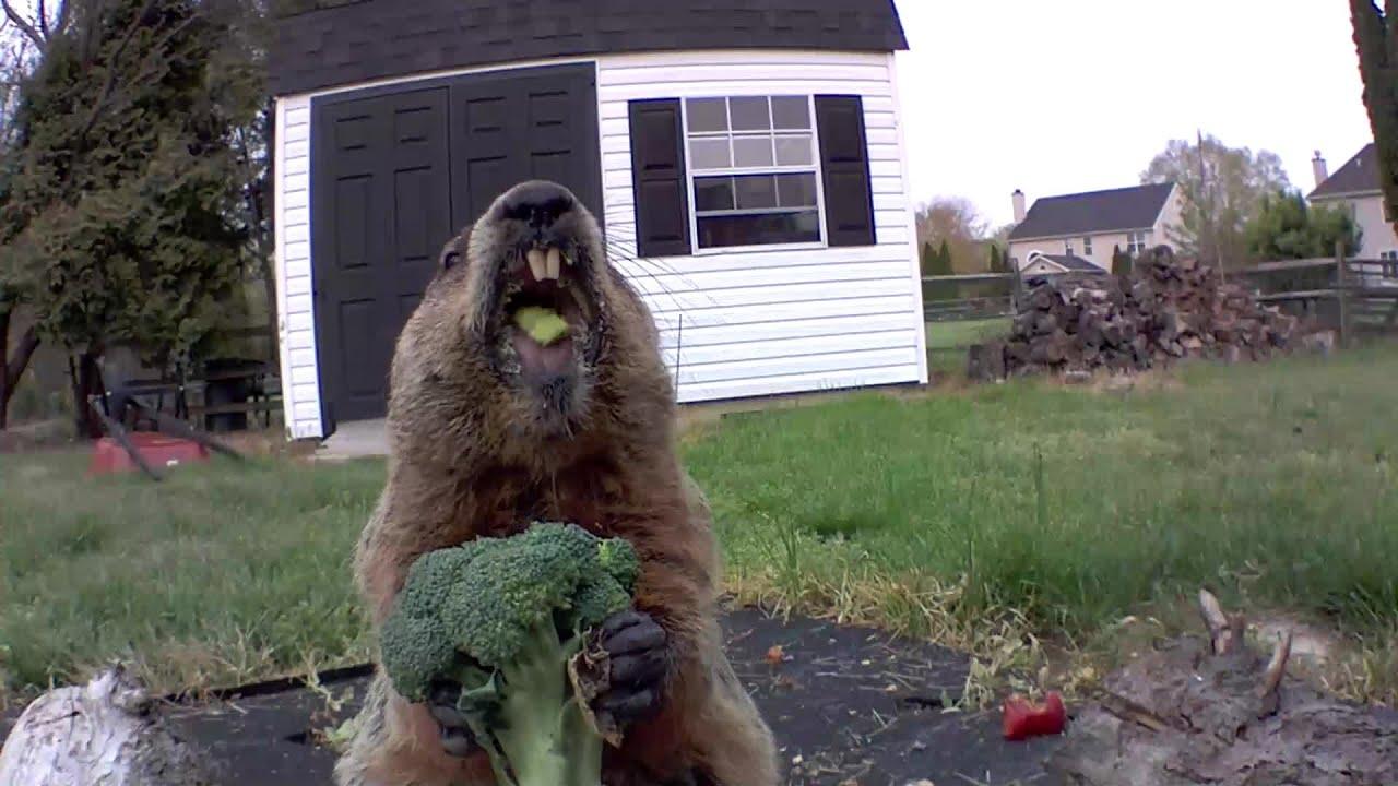 Chunk The Groundhog Eating Broccoli