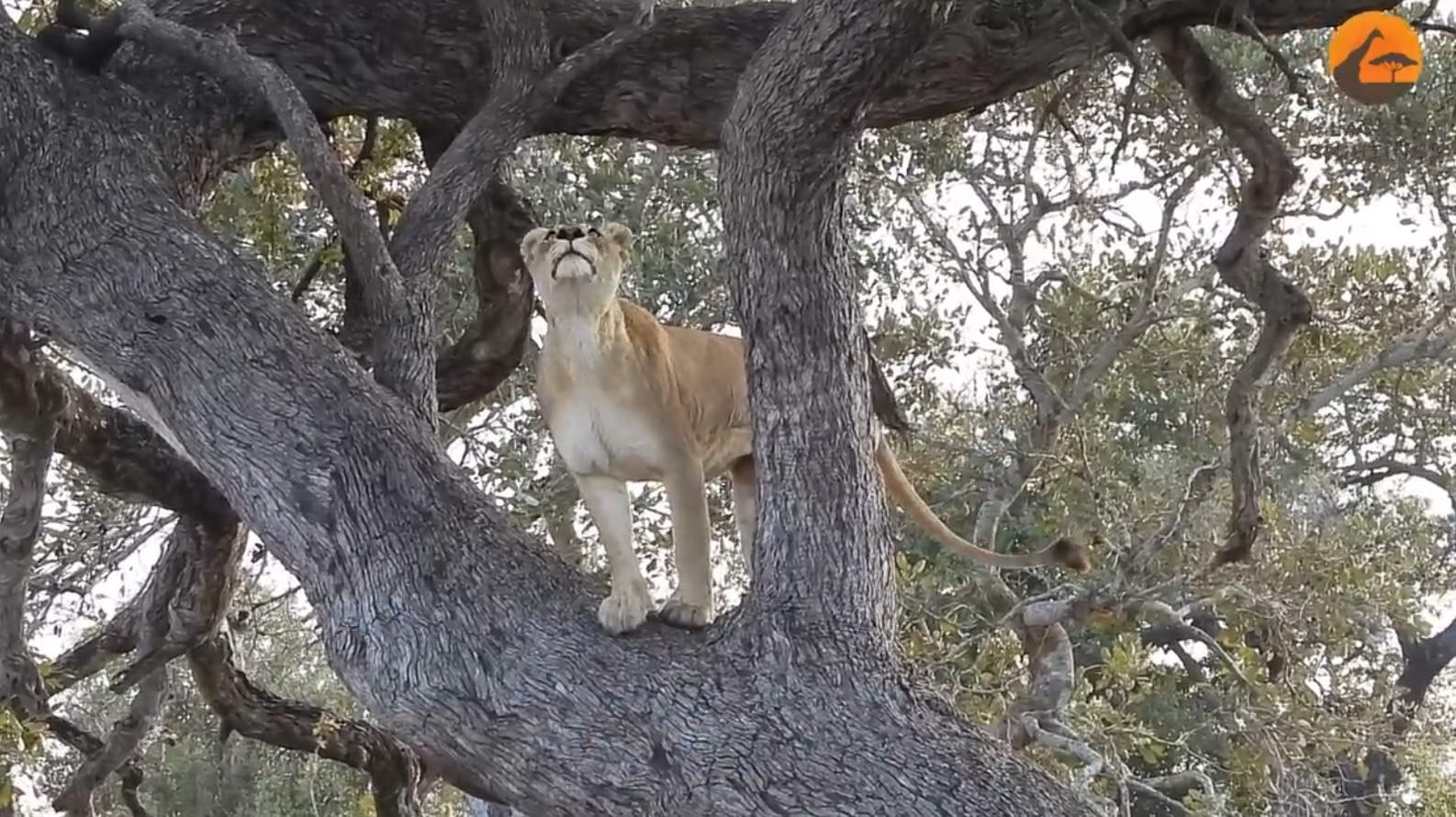 Lions Try To Climb Tree To Get To Leopard
