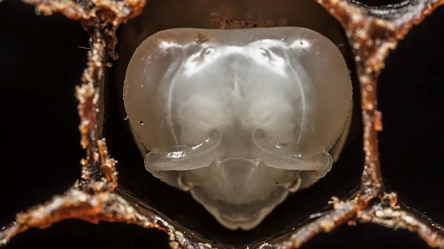 Fascinating Time-Lapse: Bees Hatching
