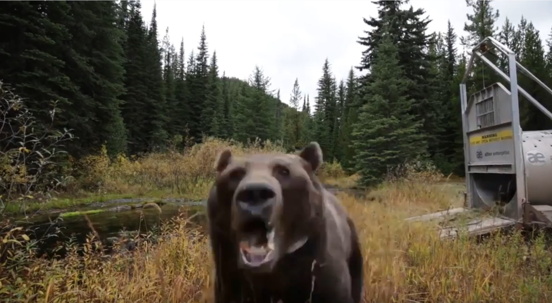 Wild Bear Attacks Camera After Release