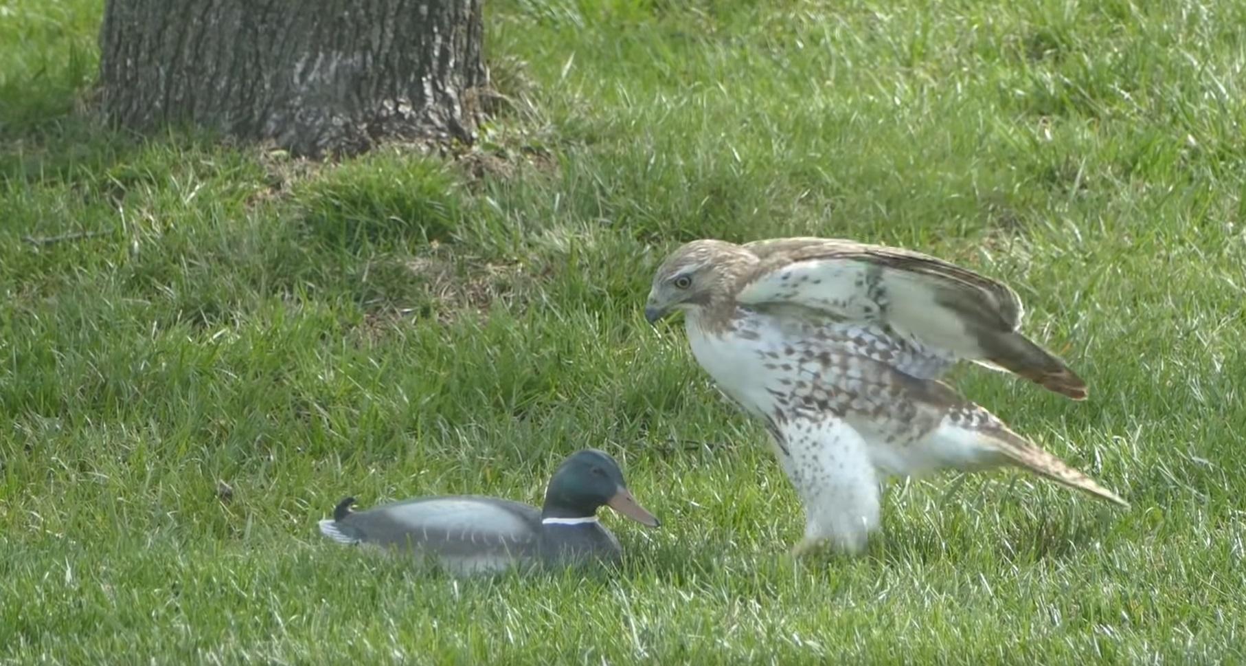 Hawk Perplexed Over Fake Duck