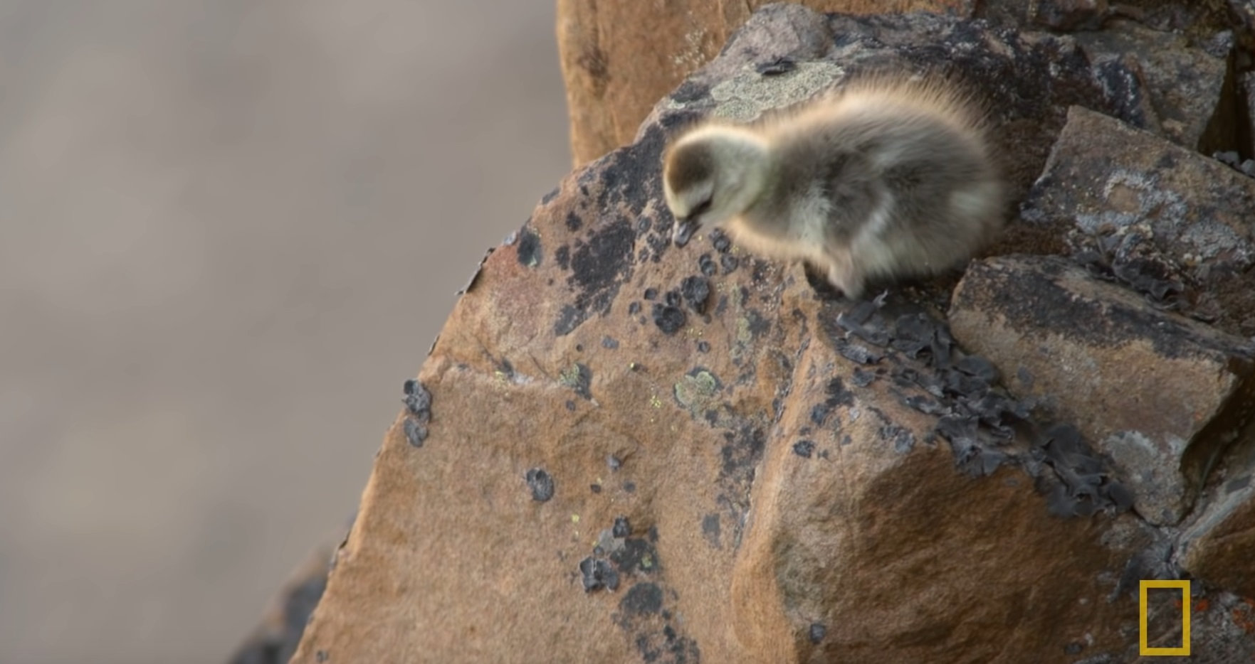 Arctic Geese Chicks Jump Off Cliff To Survive