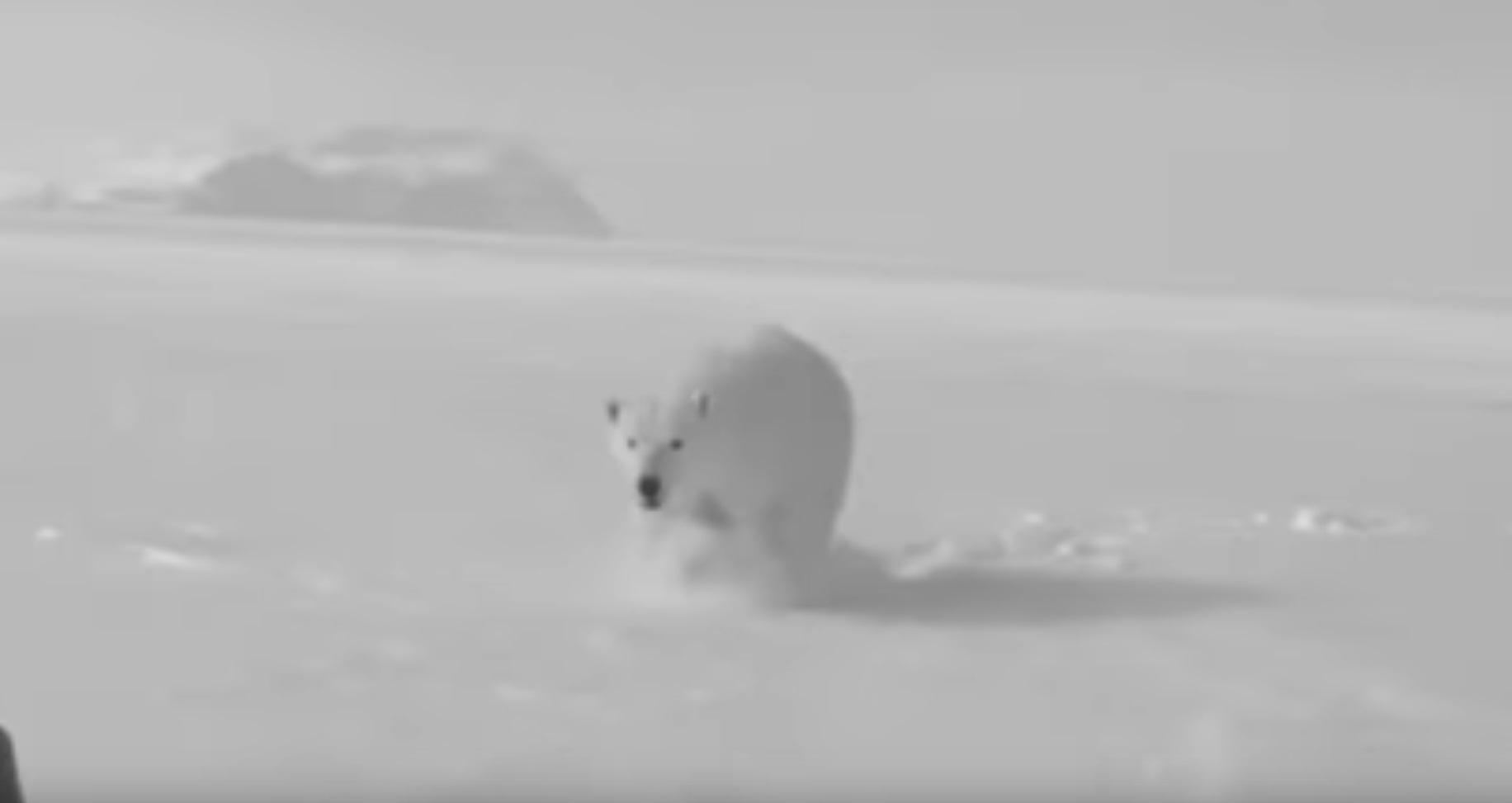 Close Polar Bear Encounter