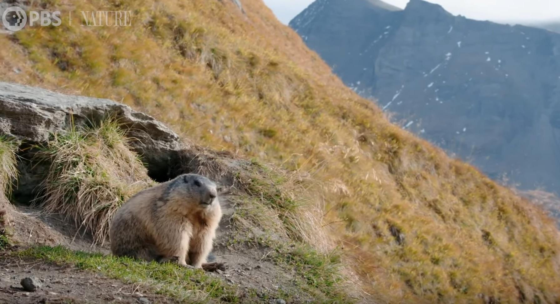 Marmot Family Prepare For Hibernation