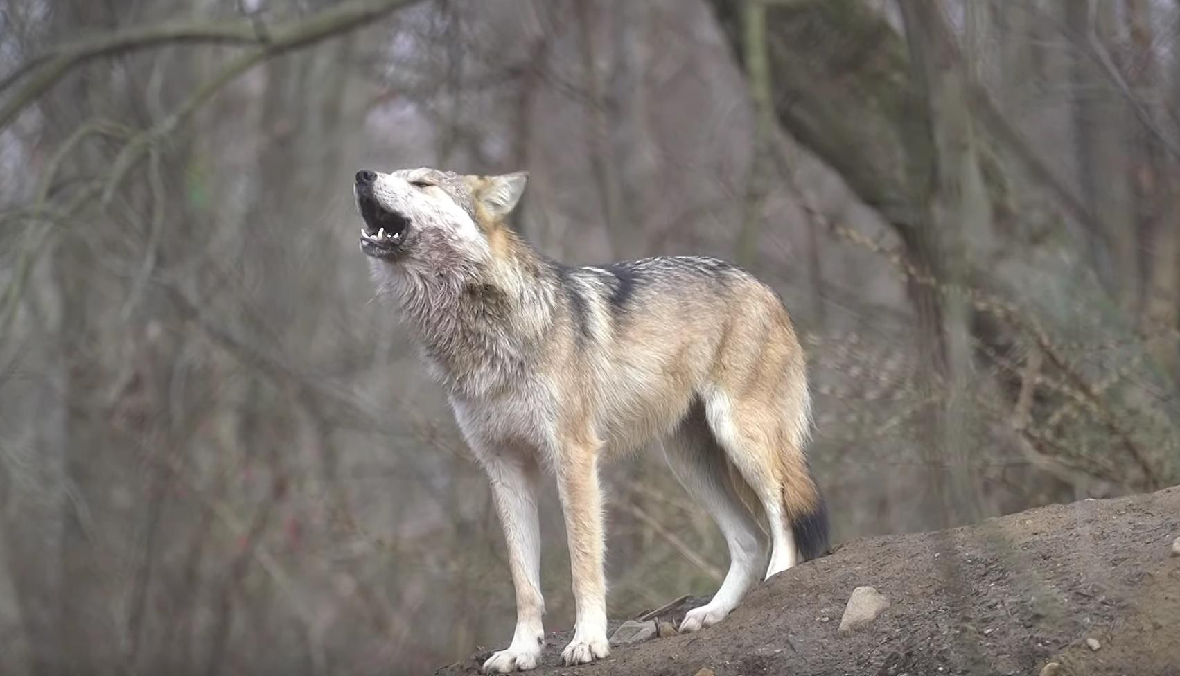 Wonderful Wolf Song
