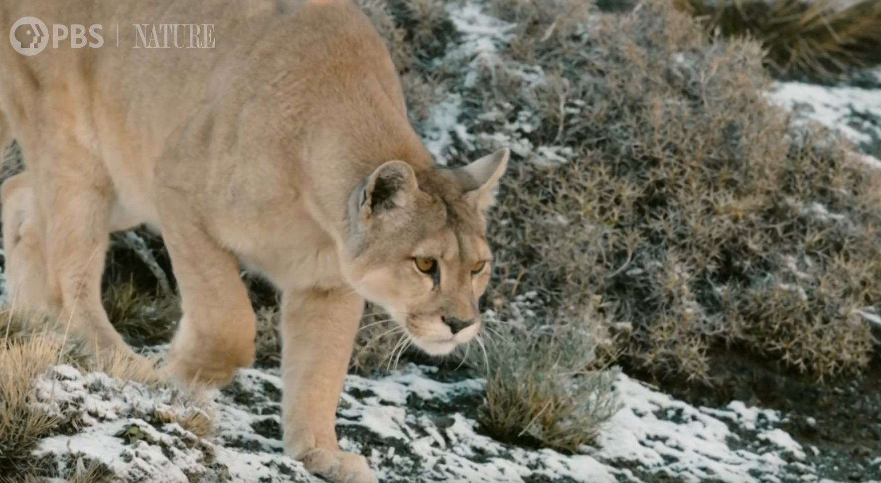 Mother Puma Showing Cub How To Hunt