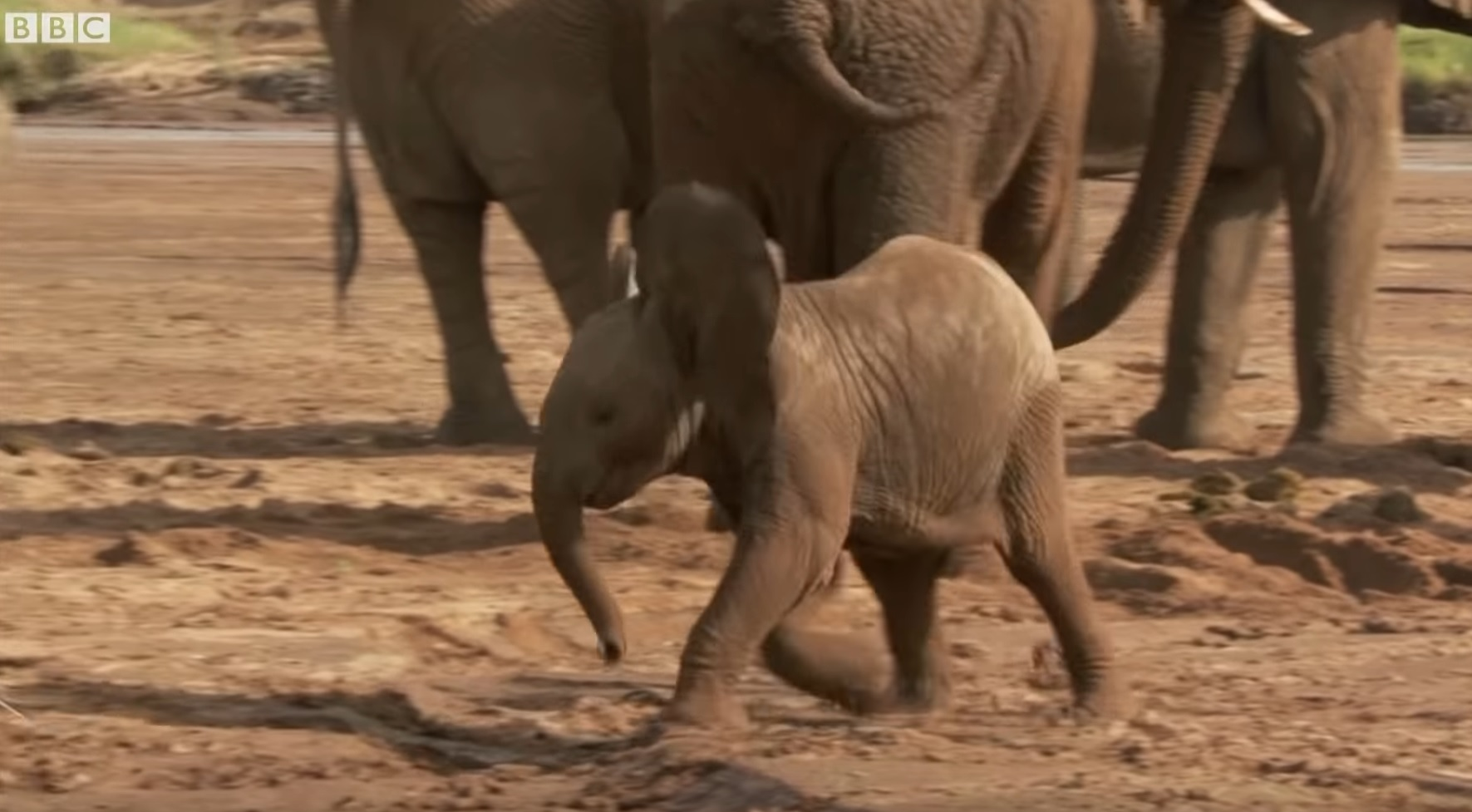 Baby Elephant Plays In The Sand