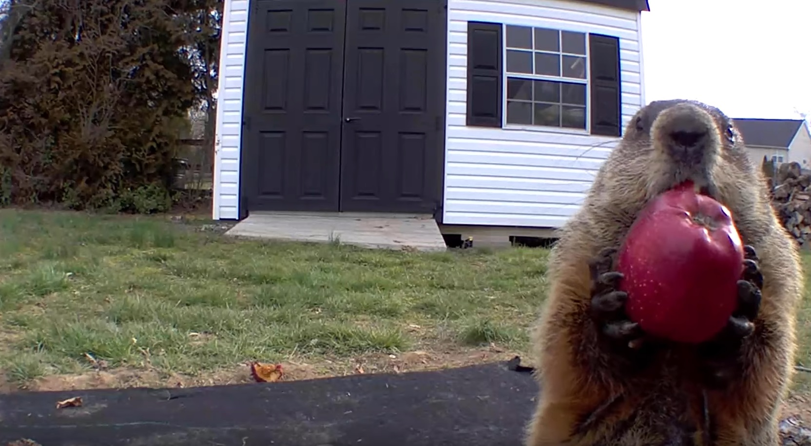 Chunk The Groundhog Eating Apples
