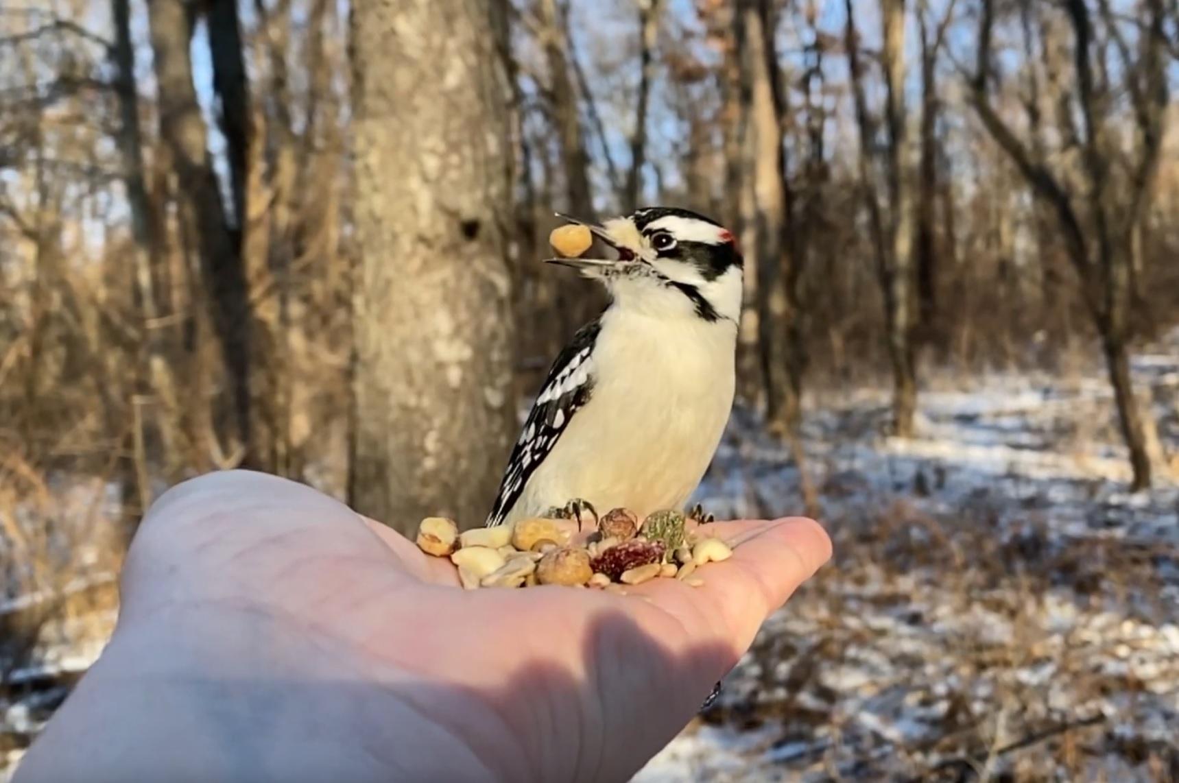Hand-feeding Downy Woodpecker