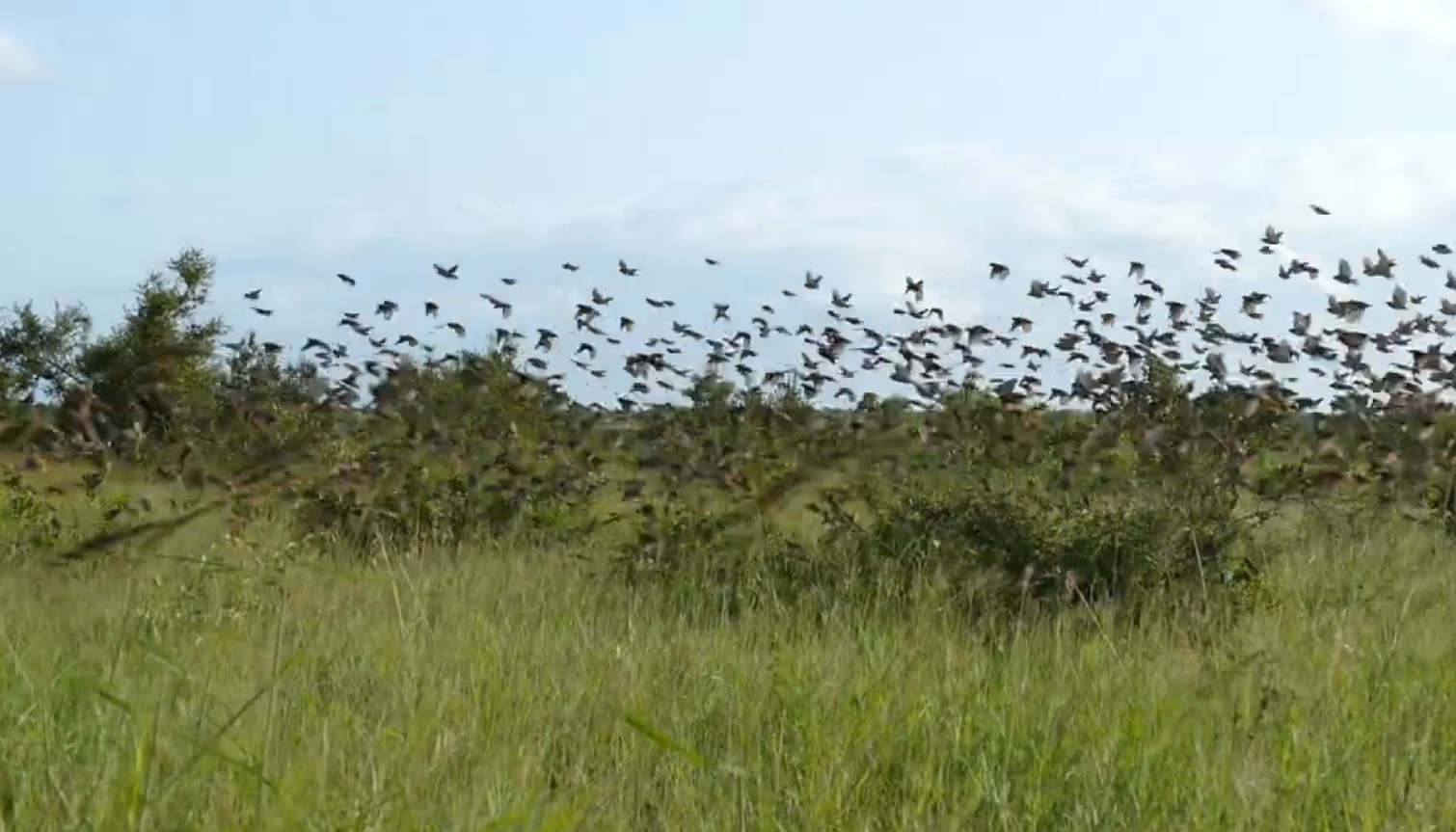 Large Flock Of Red-billed Quelea