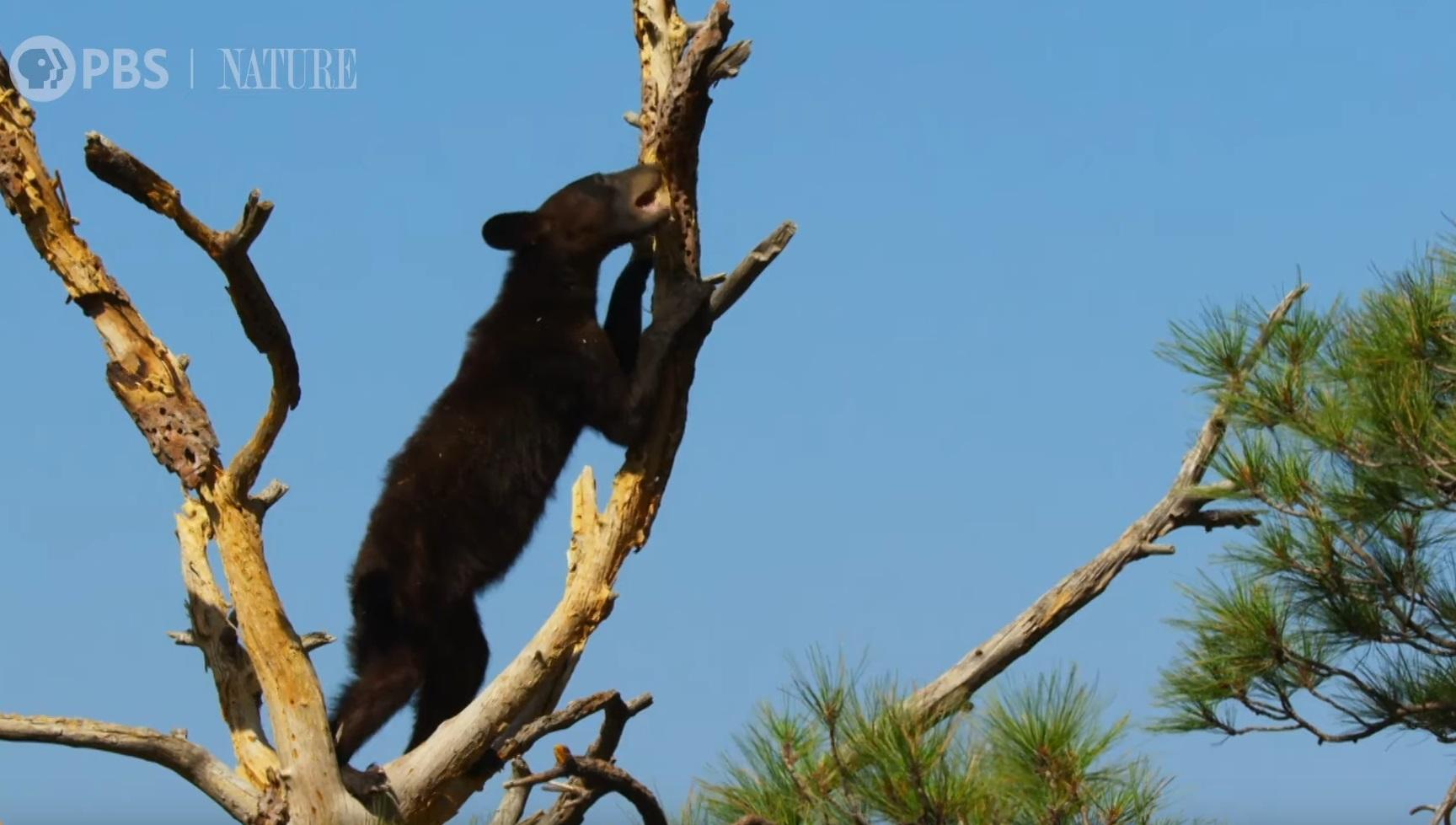 Hungry Bear Steals Acorns