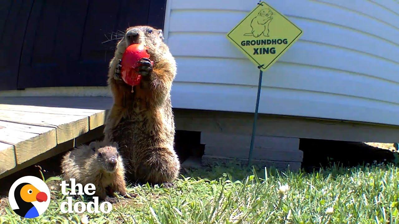 Guy Builds Veggie Garden For Groundhog Family