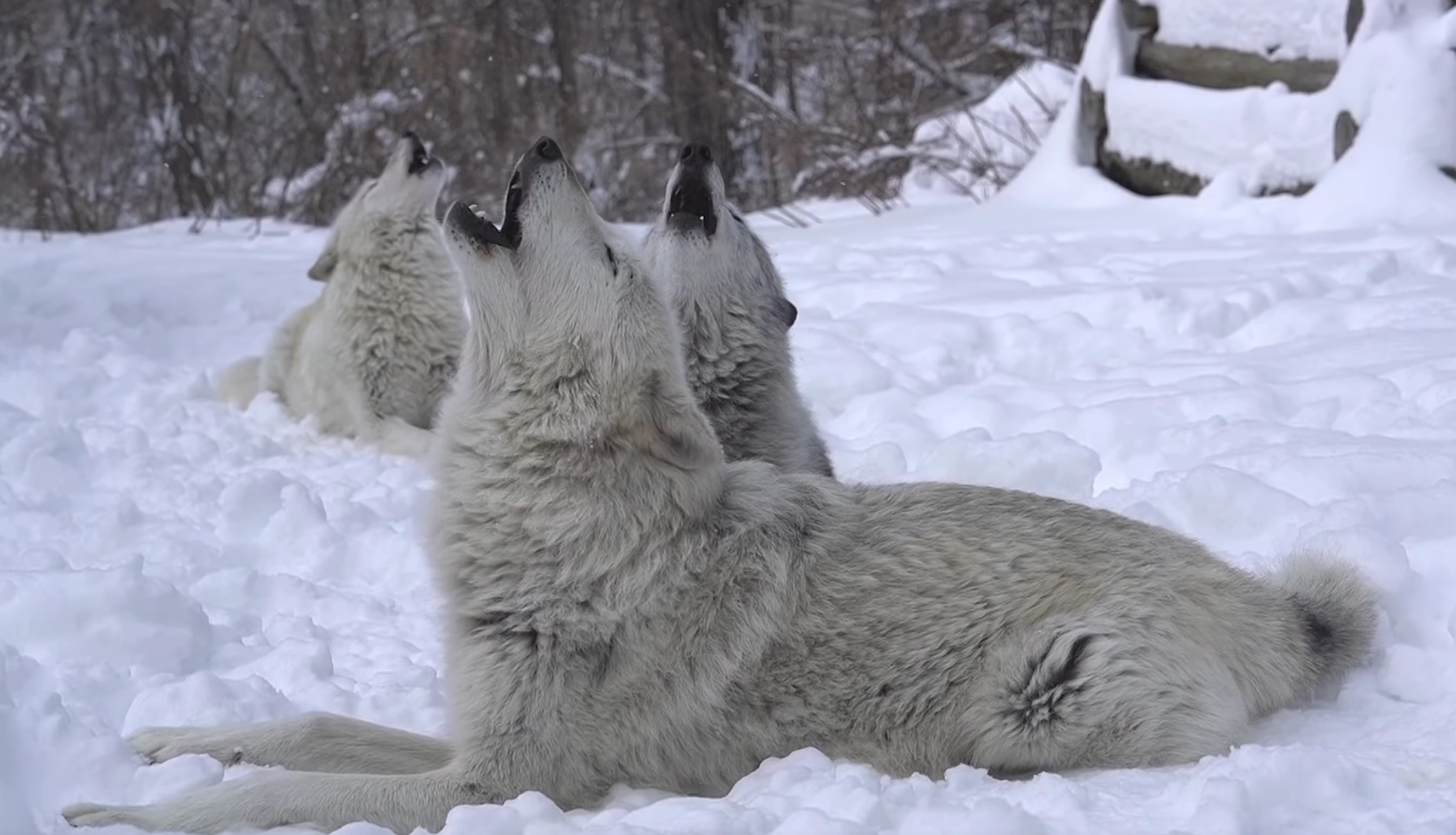 Three Wolves Howling In The Snow