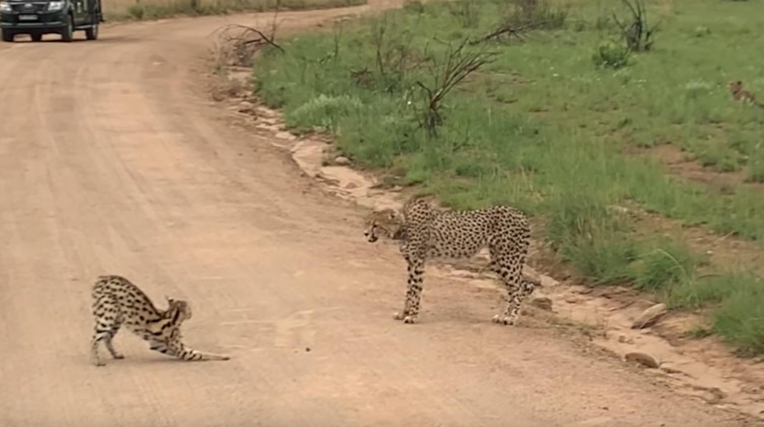 Serval Vs Cheetah Standoff