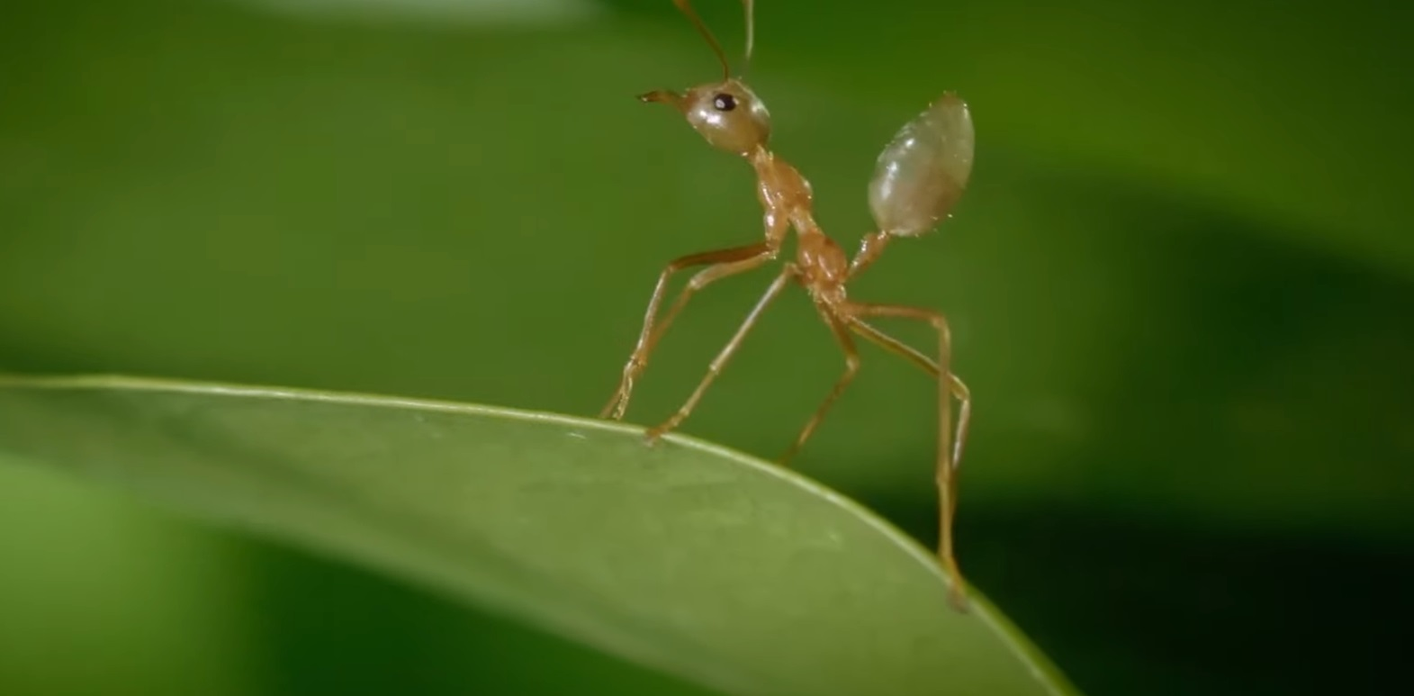 The Killer Ants