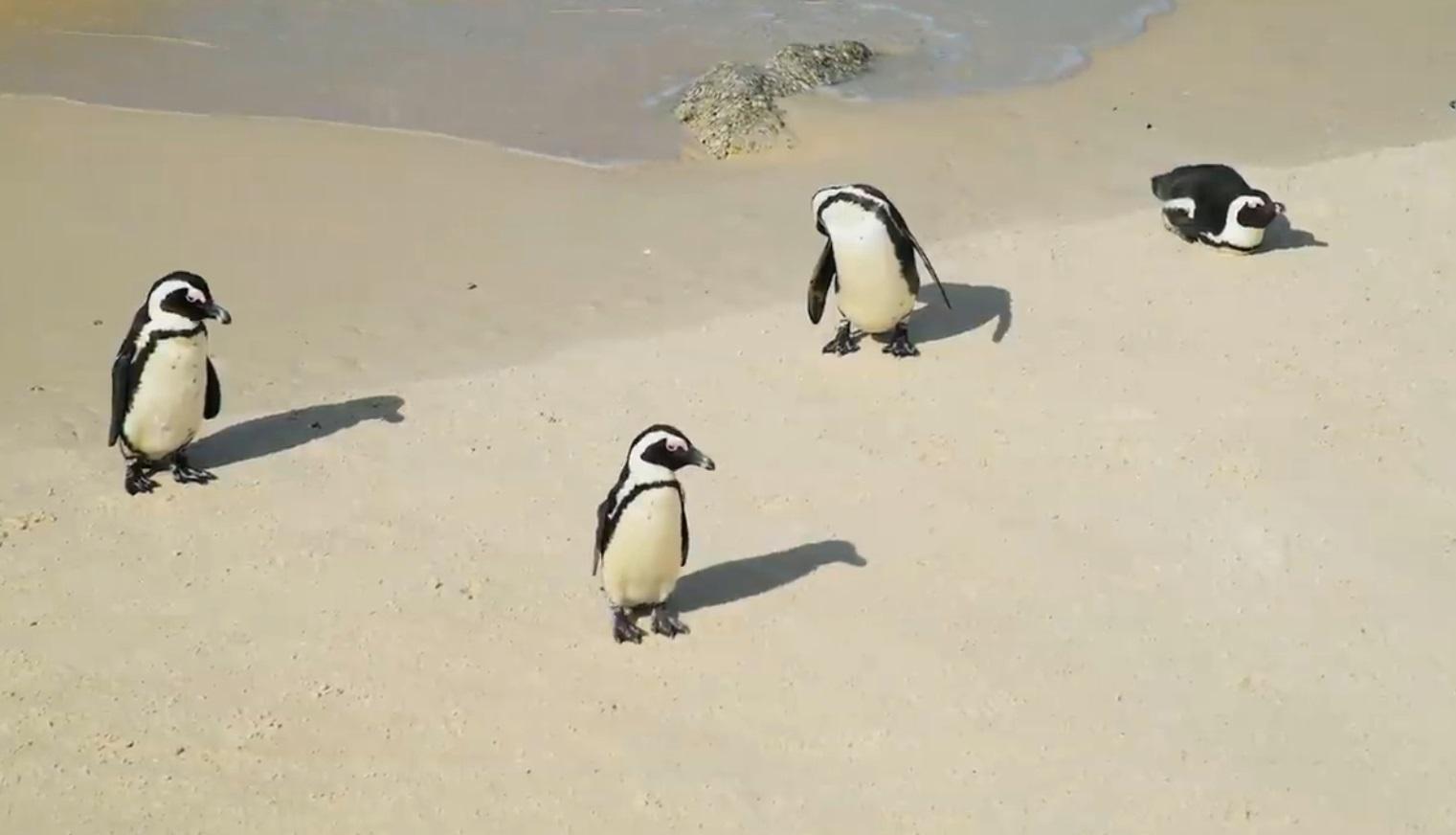 Beautiful Penguins Compilation
