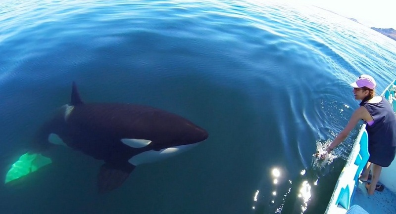 A Close Encounter With Beautiful Orca