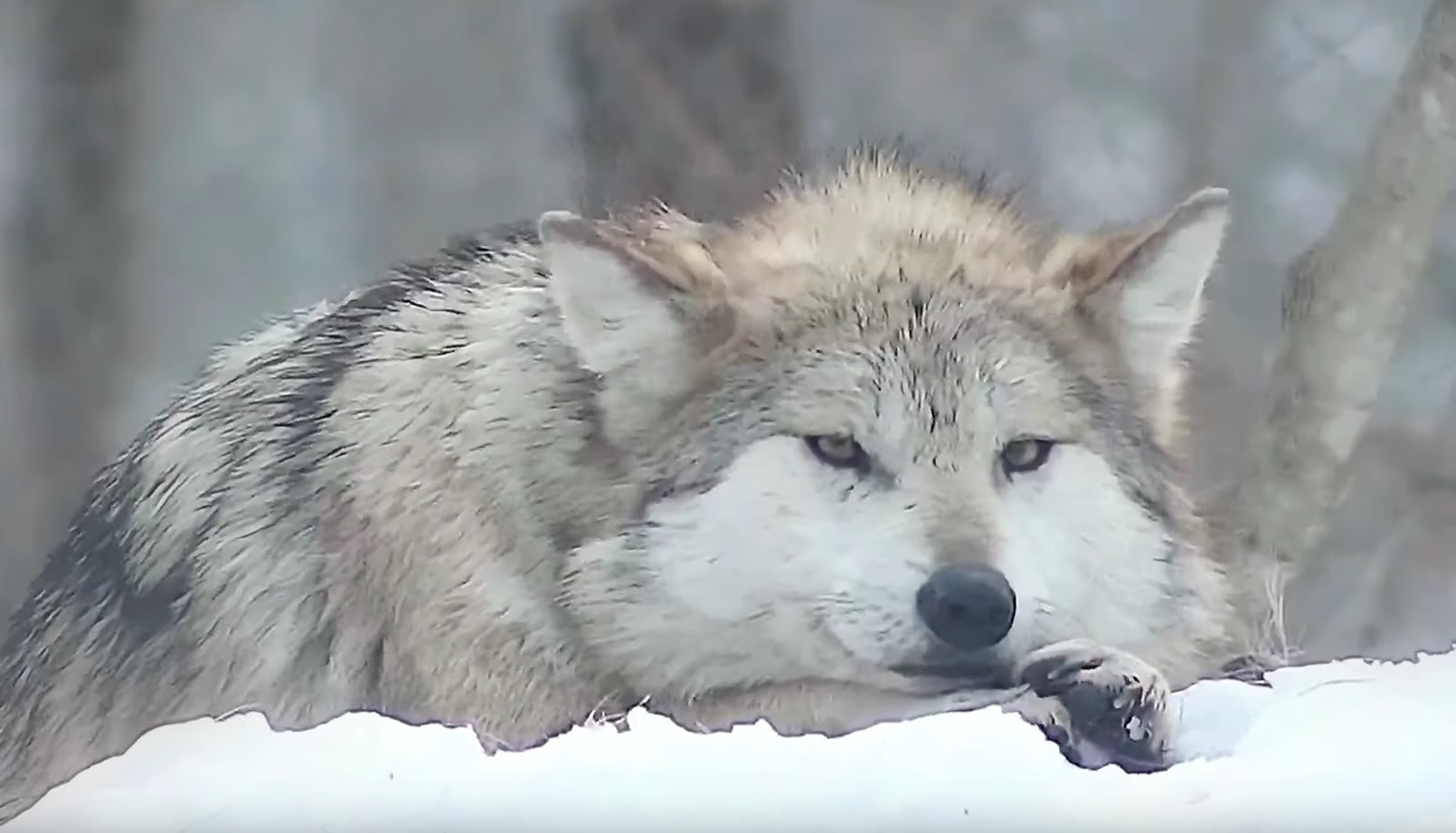 Mexican Gray Wolf Relaxing