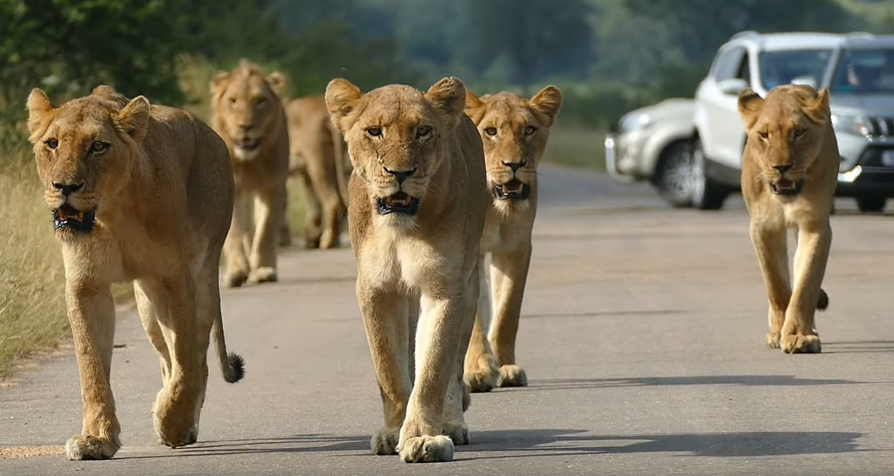 Pride Of Lions Own The Road