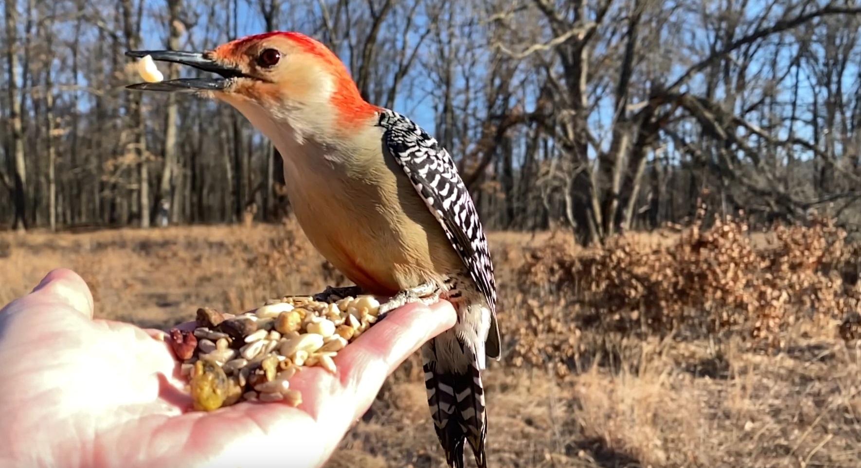 Feeding Red-bellied Woodpecker In Slo Mo