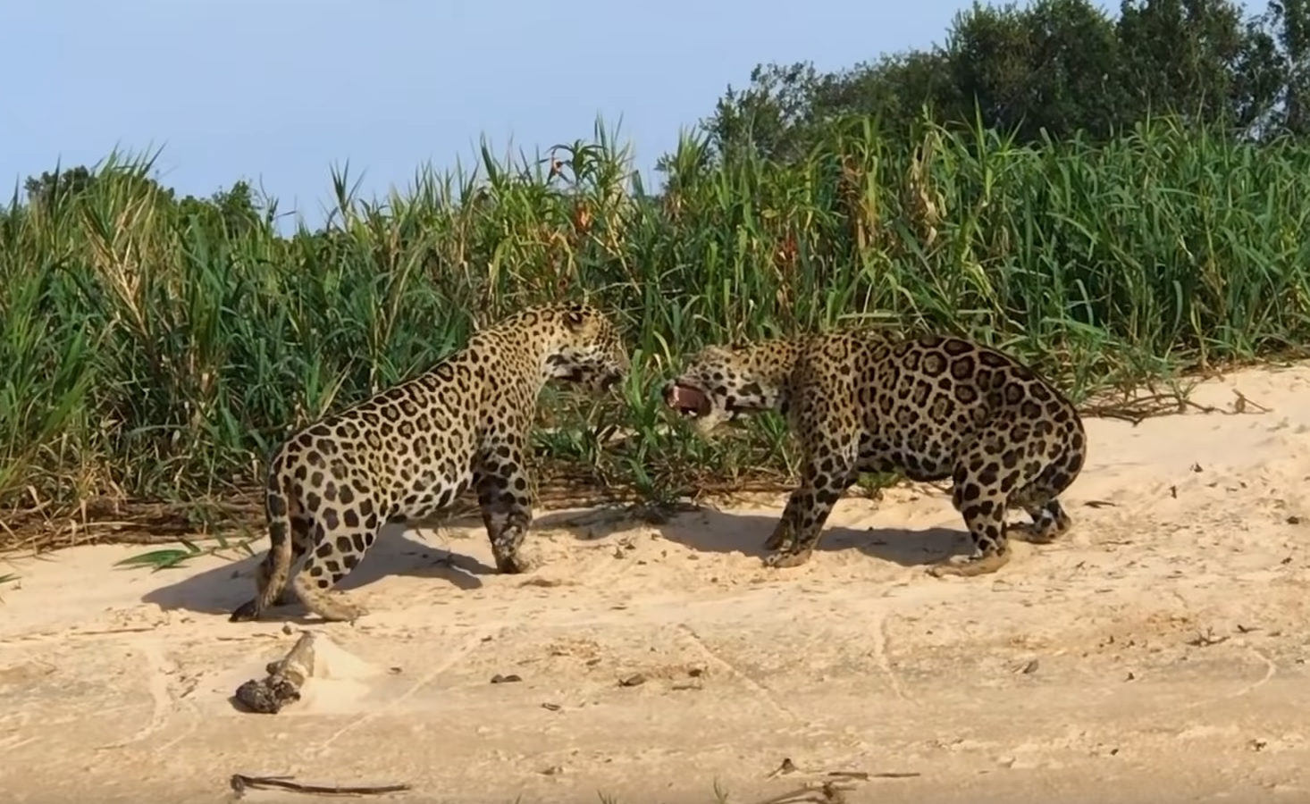 Male Jaguars Fight For Territory