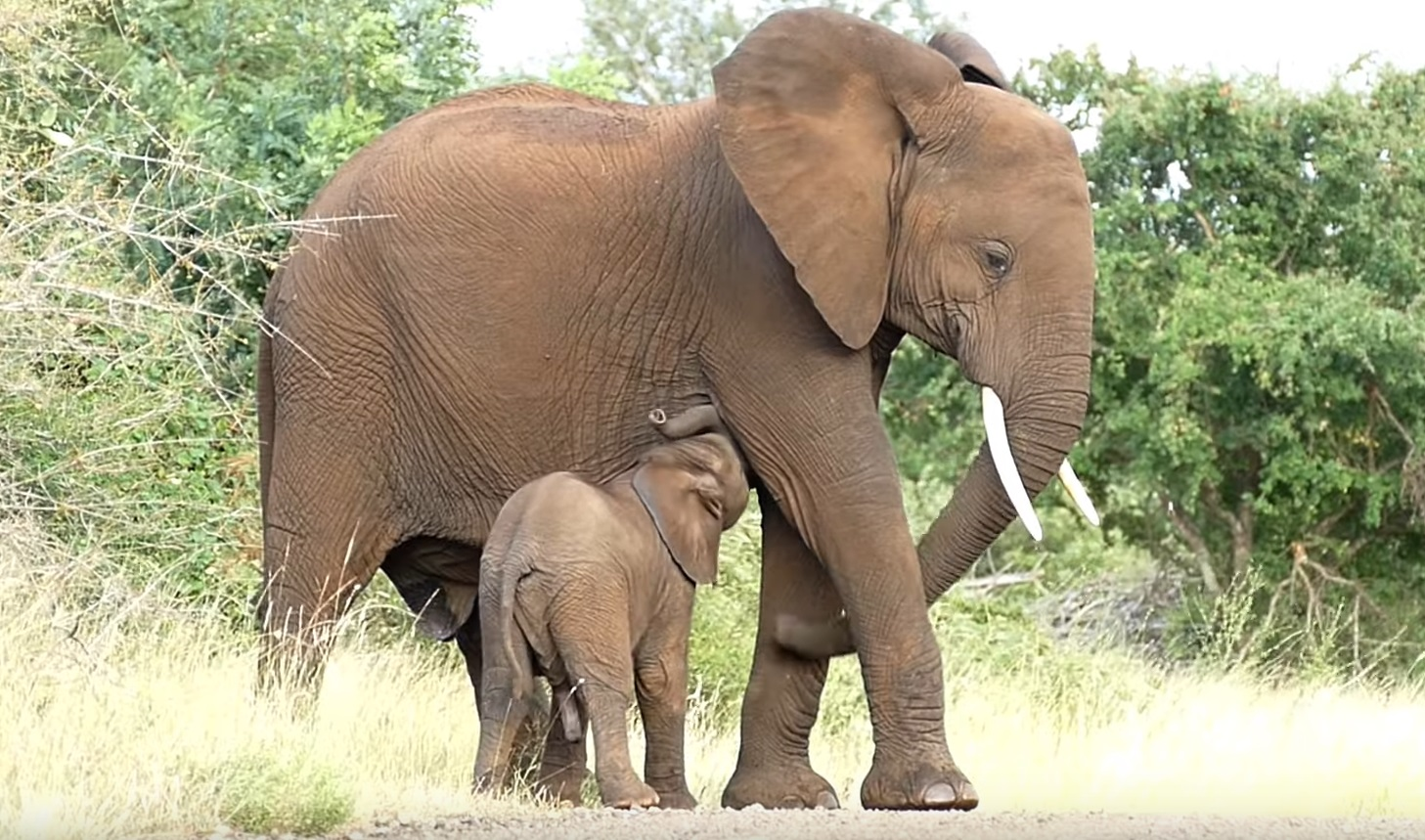 Baby Elephant Bonding With Mother