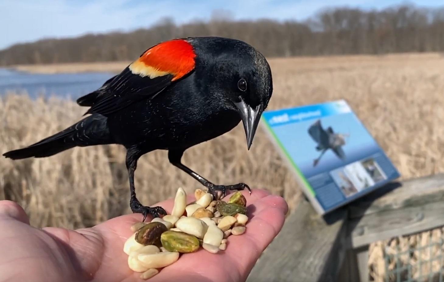 Hand-feeding  Red-winged Blackbird