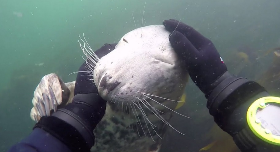 Diver Meets Really Friendly Seal