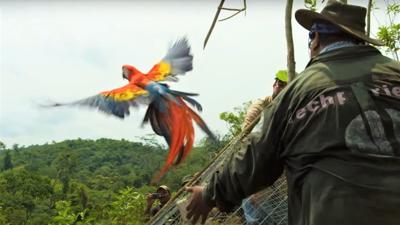 Macaws Released Into The Wild