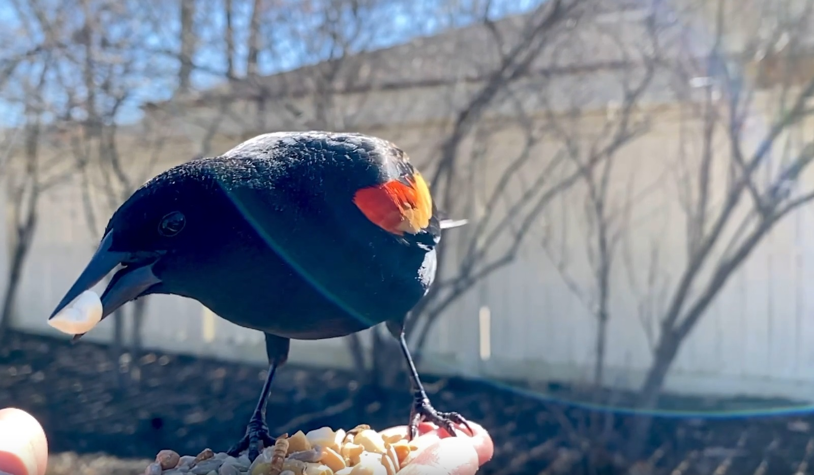 Red-winged Blackbird Comes For Treats