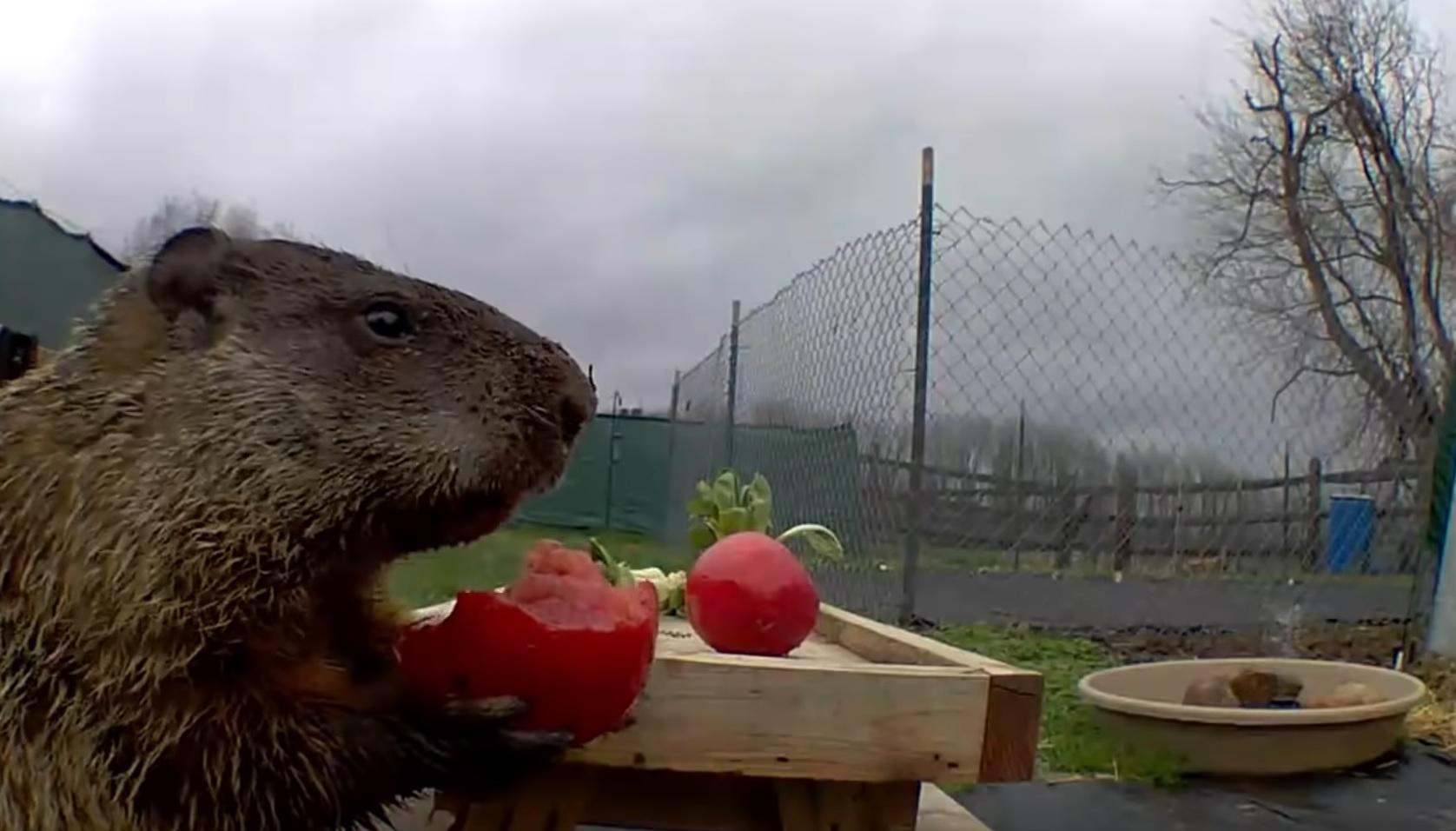 Chunk The Groundhog Snacking
