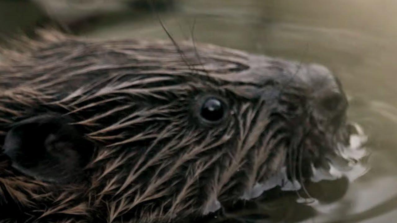 Wild Beavers Return After 400 Years