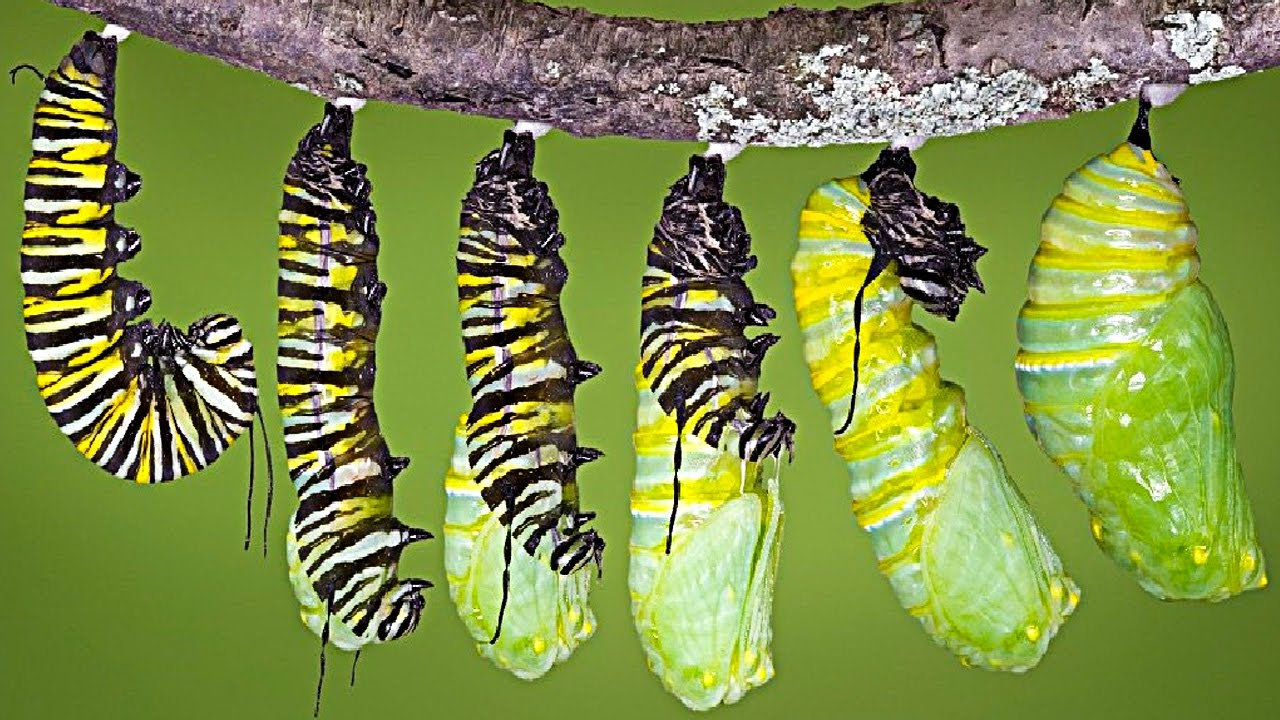 What Happens When A Caterpillar Turns Into Buttterlfy