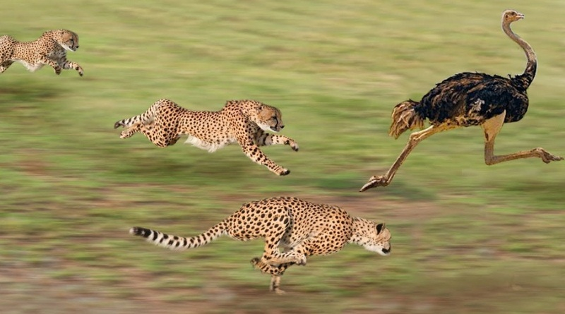 Fastest Land Animal On Earth - Cheetah Compilation