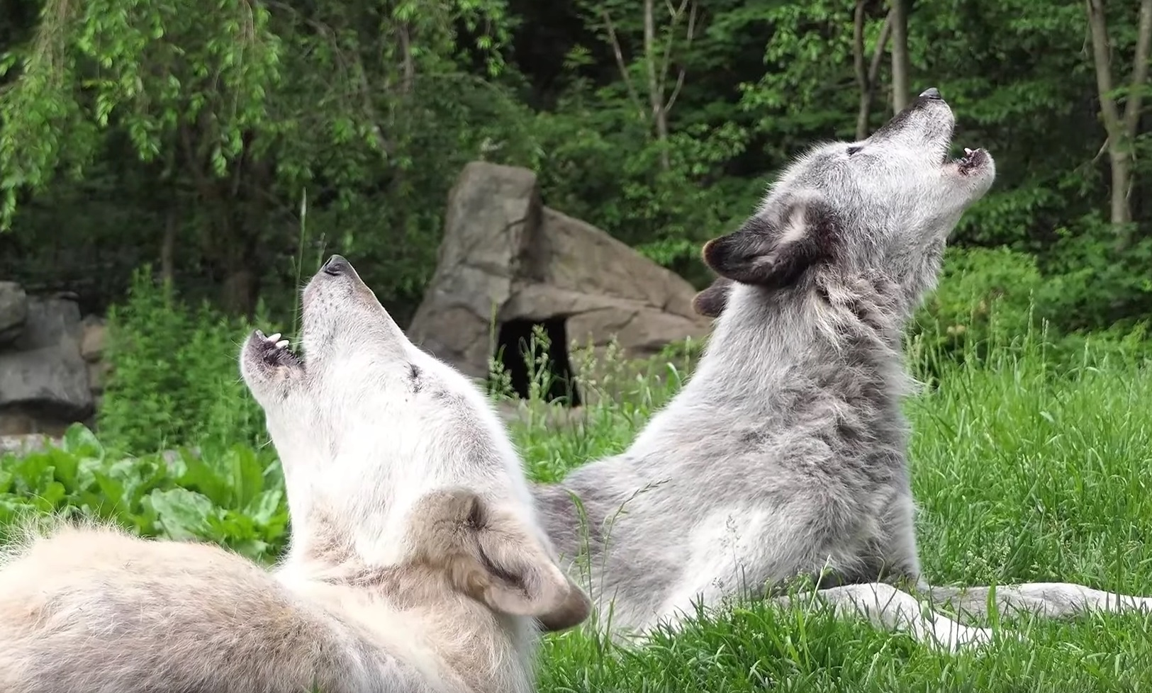 Beautiful Wolves Howling