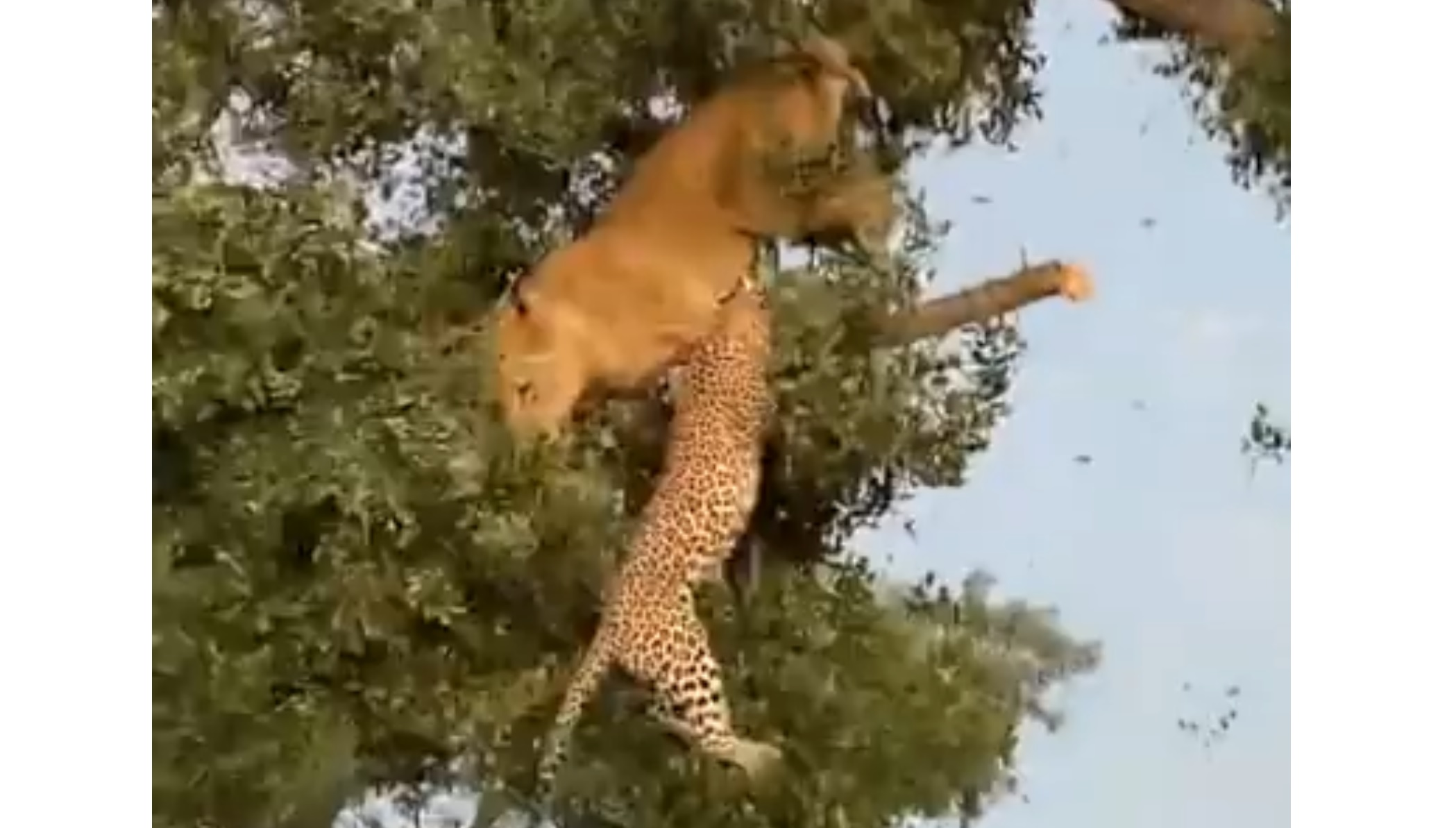 Leopard & Lion Fight For Food In The Tree
